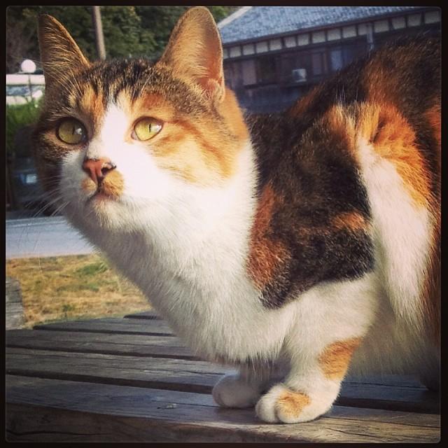 かわいい三毛猫